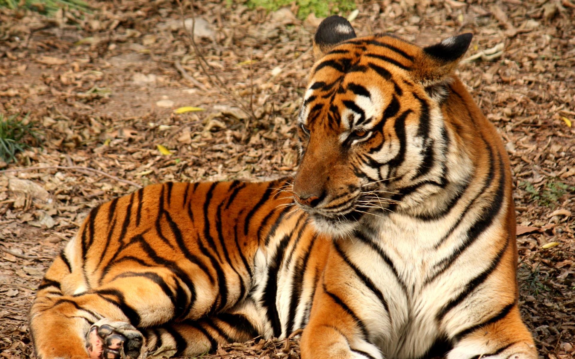 Tiger photo via Wikipedia 2012_Suedchinesischer_Tiger-wikipedia-1920